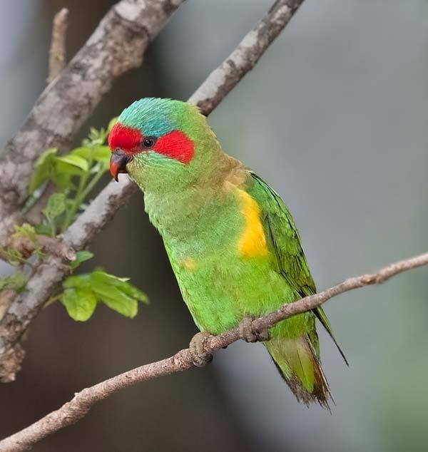 Australian Lorikeets