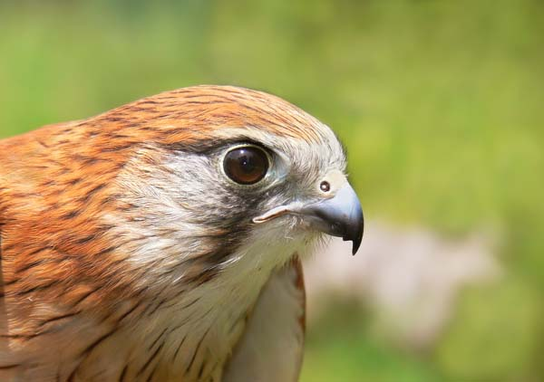 Nankeen Kestrel | Falco cenchroides photo