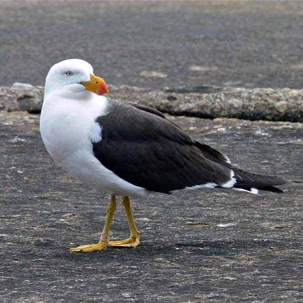 Pacific Gull | Larus pacificus photo