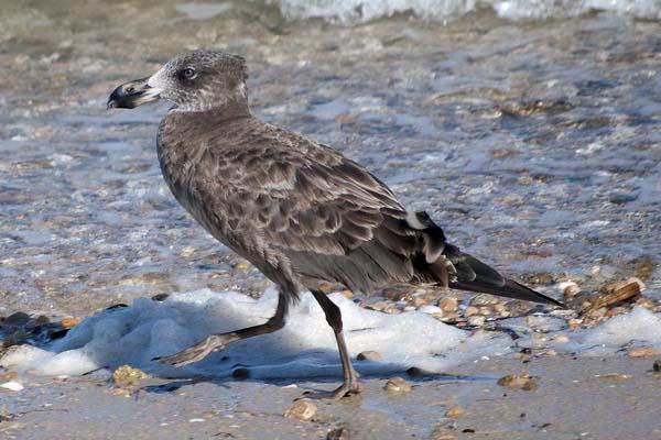 Pacific Gull | Larus pacificus photo