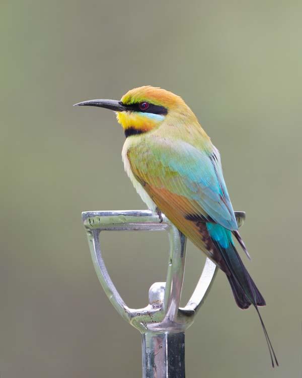 Rainbow Bee-eater | Merops ornatus photo
