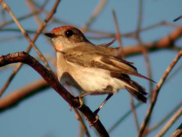 Red-capped Robin   Petroica goodenovii photo