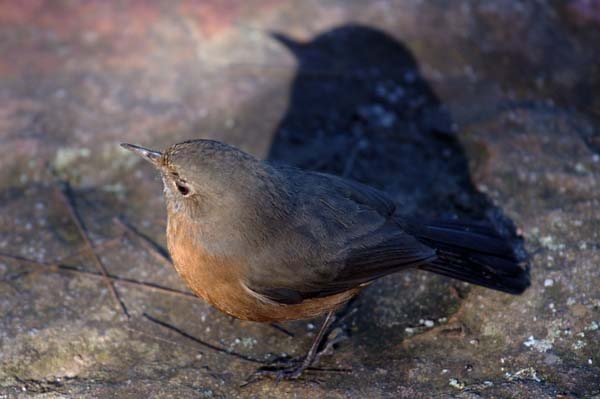 Rock Warbler | Origma solitaria photo