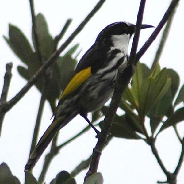 White-cheeked Honeyeater | Phylidonyris nigra photo