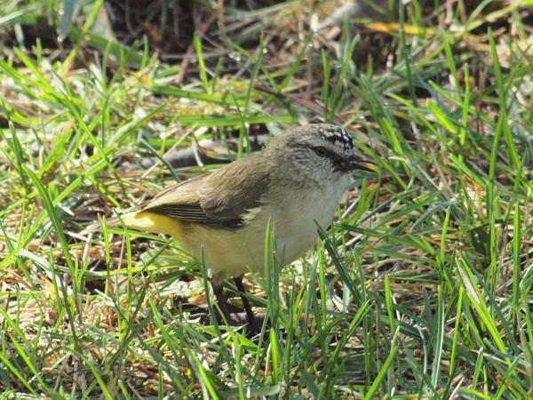 Yellow-rumped Thornbill | Acanthiza chrysorrhoa photo