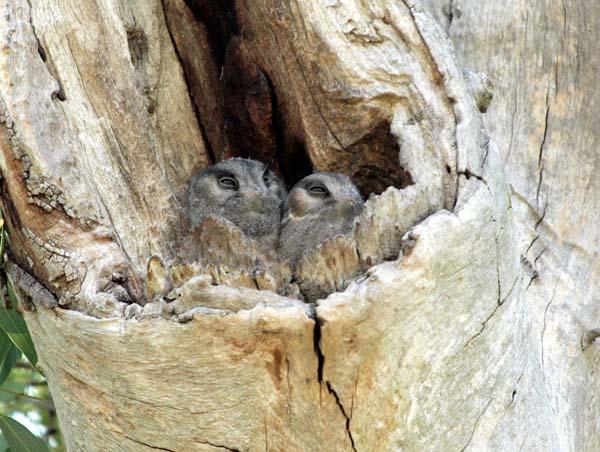 Australian Owlet-nightjar | Aegotheles cristatus photo