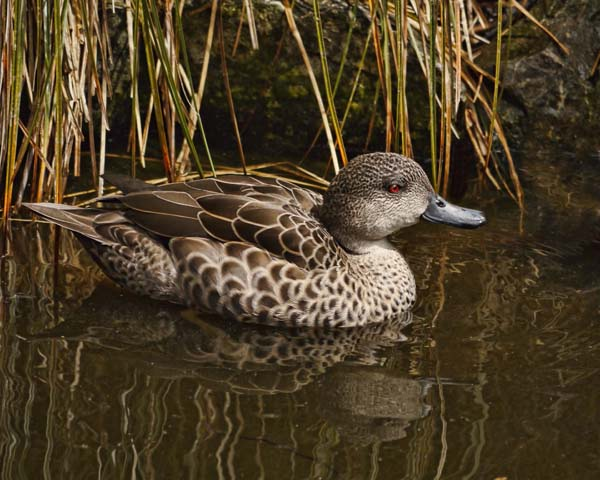 Grey Teal | Anas gracilis photo