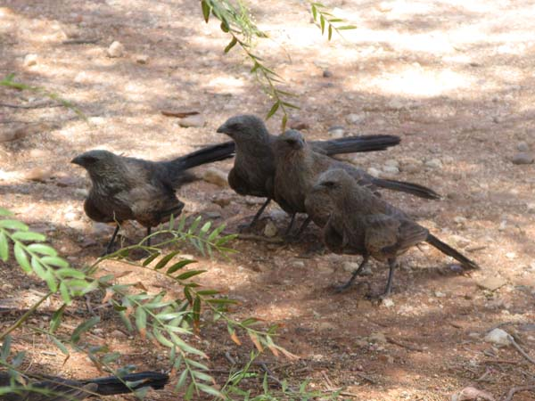 Apostlebird | Struthidea cinerea photo