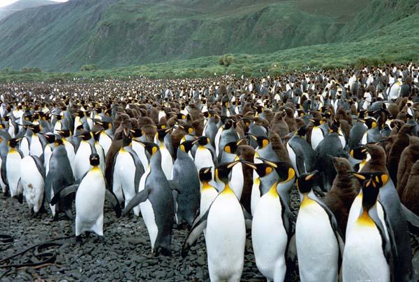 King Penguin | Aptenodytes patagonicus photo