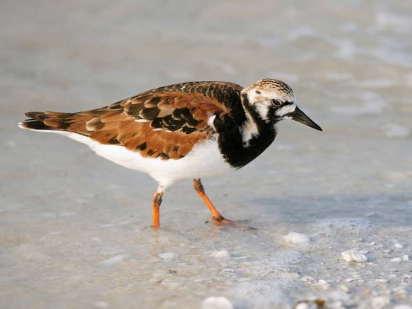 Ruddy Turnstone | Arenaria interpres photo