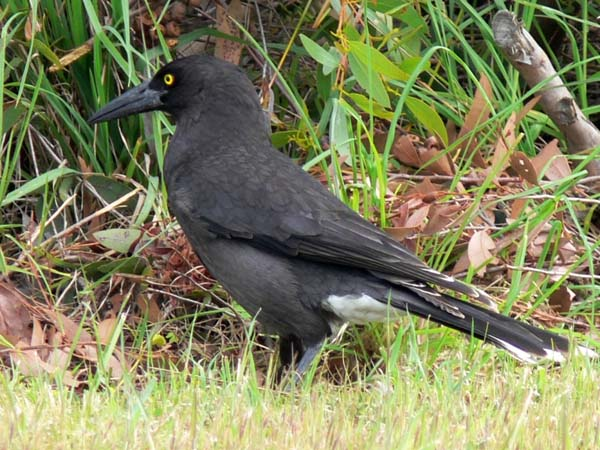Black-winged Currawong | Strepera versicolor melanoptera photo
