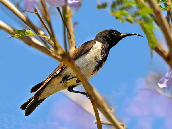Black Honeyeater | Certhionyx niger photo