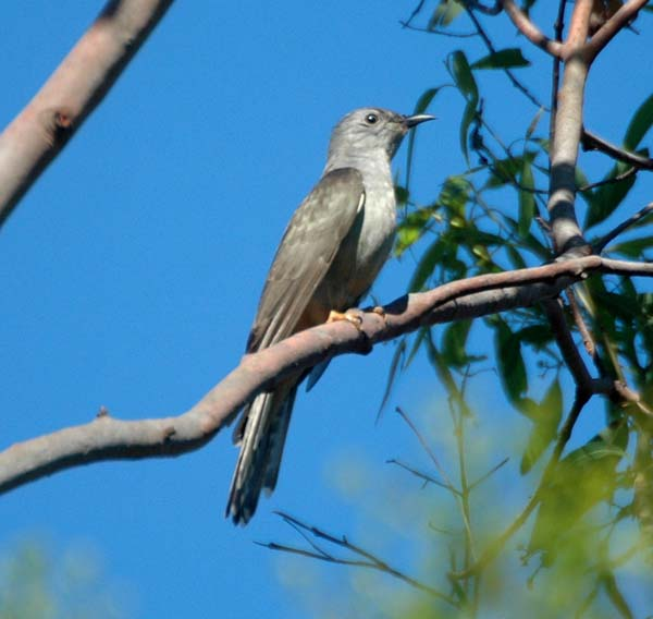 Brush Cuckoo | Cacomantis variolosus photo