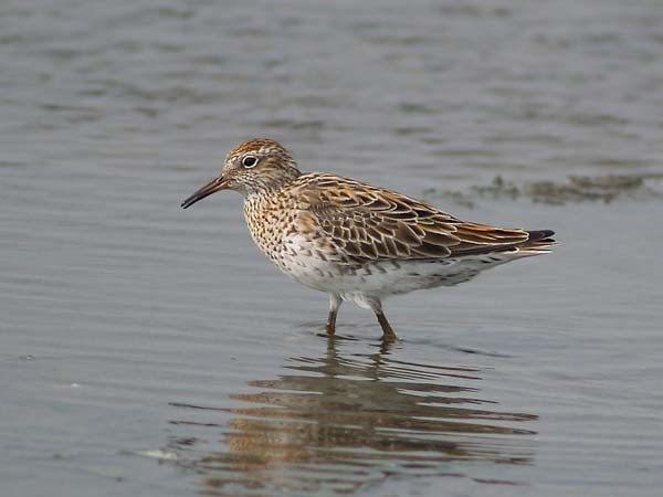 Sharp-tailed Sandpiper | Calidris acuminata photo