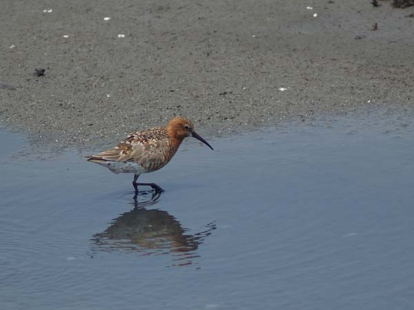 Curlew Sandpiper | Calidris ferruginea photo