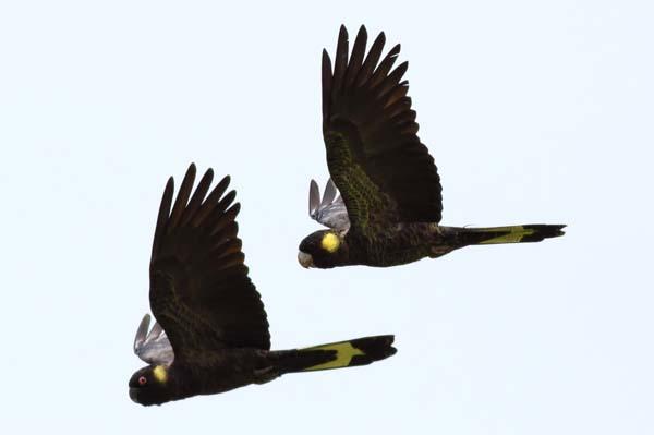 Yellow-tailed Black Cockatoo | Calyptorhynchus funereus photo