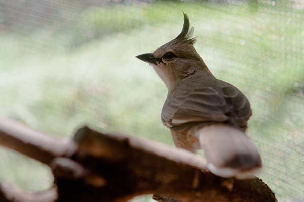 Chiming Wedgebill | Psophodes occidentalis photo