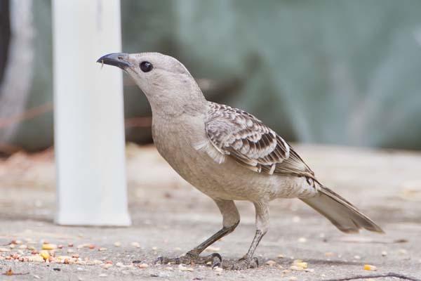 Great Bowerbird   Chlamydera nuchalis photo
