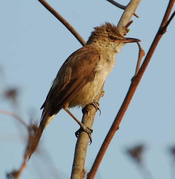 Clamorous Reed Warbler | Acrocephalus stentoreus photo