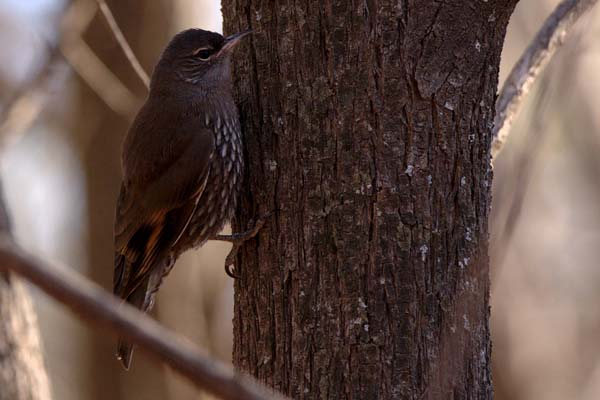White-browed Treecreeper | Climacteris affinis photo