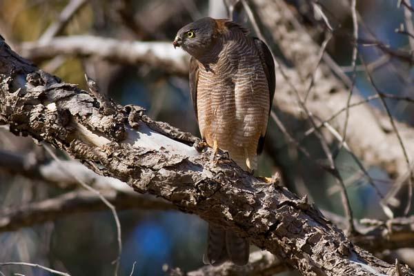 Collared Sparrowhawk | Accipiter cirrocephalus photo