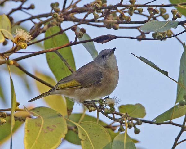 Rufous-banded Honeyeater | Conopophila albogularis photo