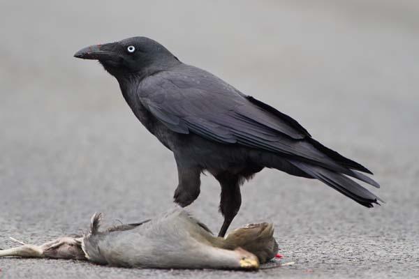 Forest Raven   Corvus tasmanicus photo