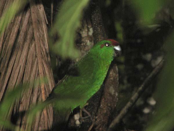 Norfolk Island Parakeet | Cyanoramphus cookii photo