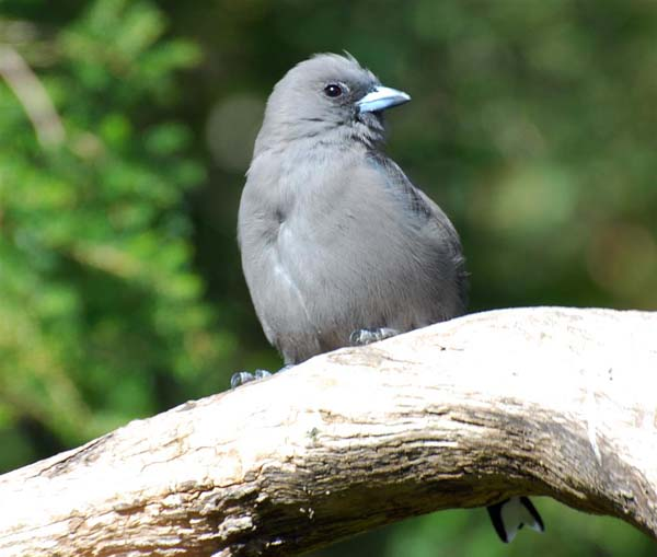 Dusky Woodswallow | Artamus cyanopterus photo