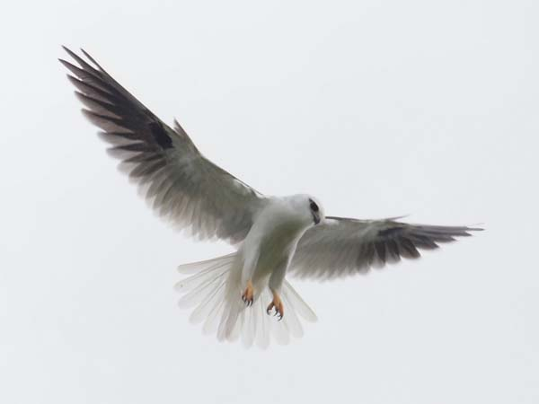Black-shouldered Kite | Elanus axillaris photo