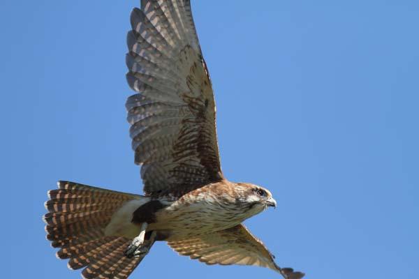 Brown Falcon | Falco berigora photo