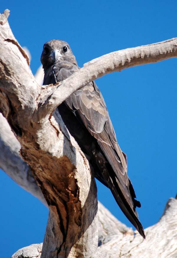 Black Falcon | Falco subniger photo