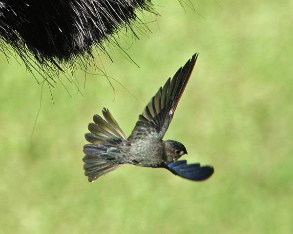 Glossy Swiftlet | Collocalia esculenta photo