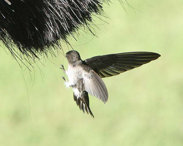 Glossy Swiftlet | Collocalia esculenta photo