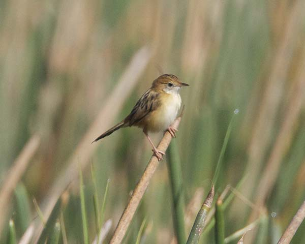 Golden-headed Cisticola | Cisticola exilis photo