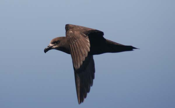Great-winged Petrel | Pterodroma macroptera photo