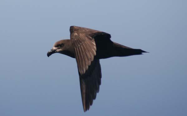 Great-winged Petrel | Pterodroma macroptera photo