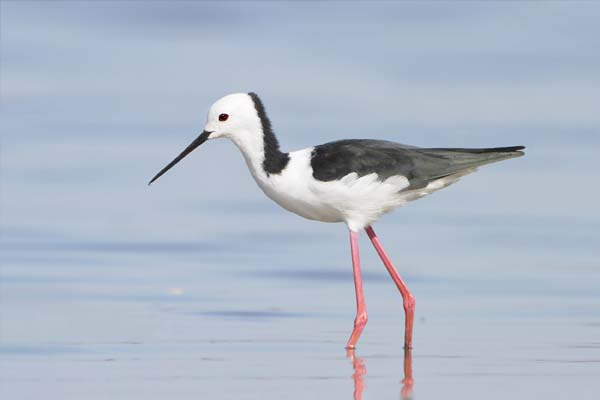 Banded Stilt | Himantopus leucocephalus photo
