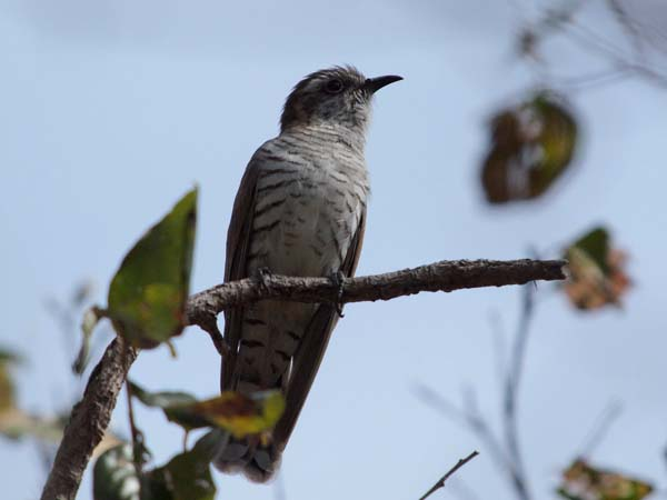 Horsfield's Bronze-Cuckoo | Chrysococcyx basalis photo