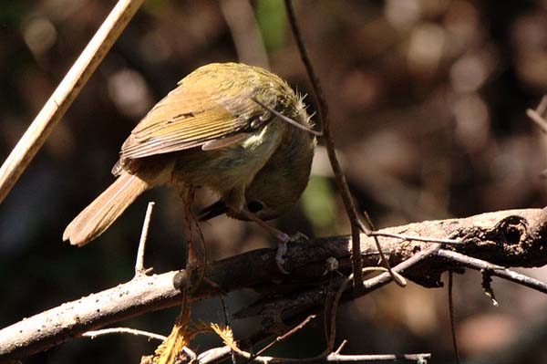 Large-billed Scrubwren | Sericornis magnirostris photo