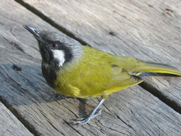 White-eared Honeyeater | Lichenostomus leucotis photo
