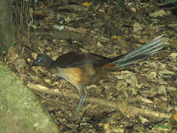 Albert's Lyrebird | Menura alberti photo