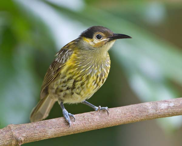 Macleay's Honeyeater | Xanthotis macleayana photo