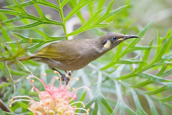 Graceful Honeyeater | Meliphaga gracilis photo