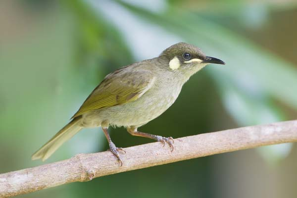 Yellow-spotted Honeyeater | Meliphaga notata photo