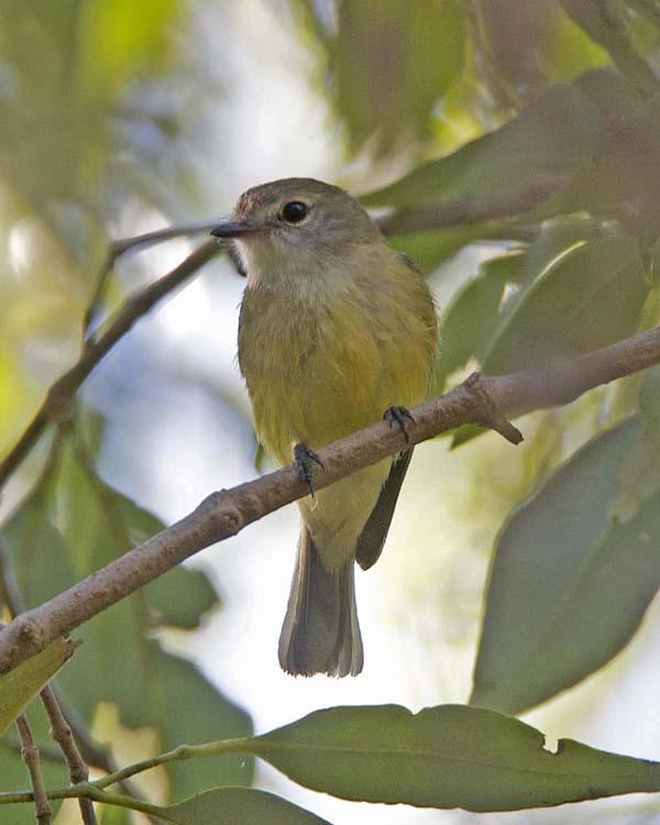 Lemon-bellied Flycatcher | Microeca flavigaster photo