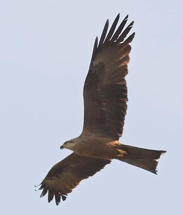Black Kite | Milvus migrans photo