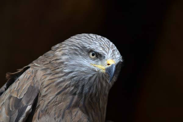 Black Kite | Milvus migrans photo