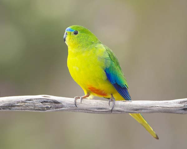 Orange-bellied Parrot | Neophema chrysogaster photo