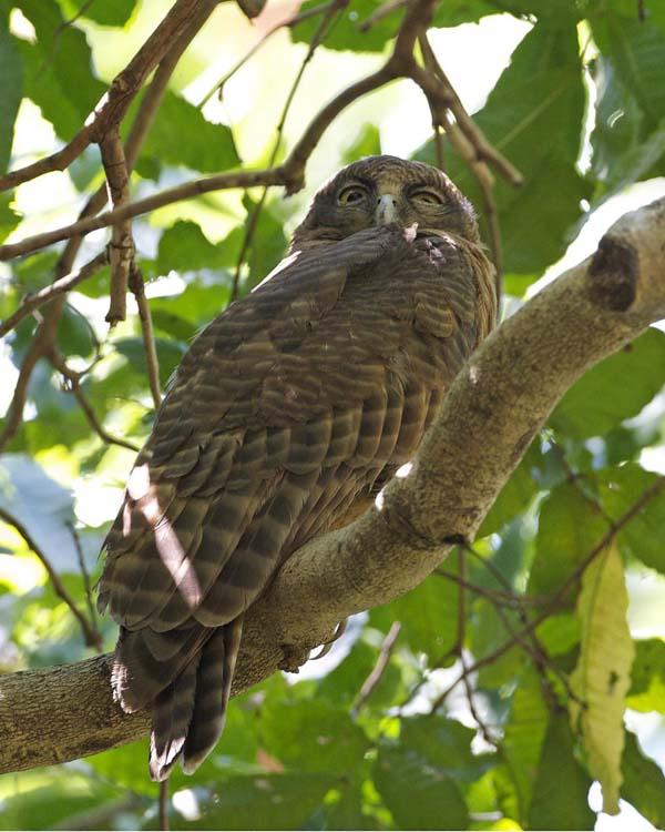 Rufous Owl | Ninox rufa photo